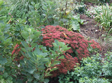 Sedum Autumn Joy, at bloom time after receiving early summer tip pruning.