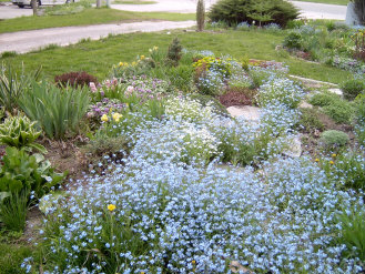 A sea of Forget-me-nots just before pulling them out to make way for main season perennials.